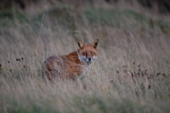 fox_bull_island.JPG